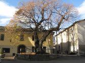 101_Aosta_Tiglio_di_S_Orso.Circonferenza del tronco 4,60 mt. - Altezza 17 mt. rilievo 2008. Età stimata circa 450 anni.