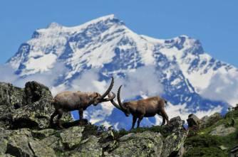 28 - Stambecchi-animali-simbolo-del-parco-nazionale-del-gran-paradiso1