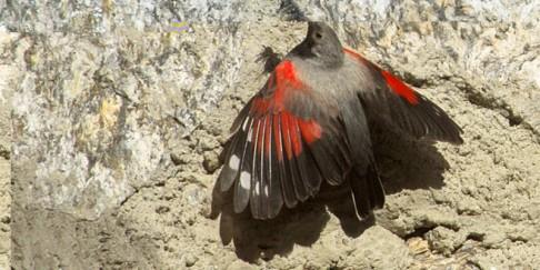 48 - Il Picchio muraiolo nidifica sulle mura del Rifugio Chabod – Gran Paradiso in Valsavarenche