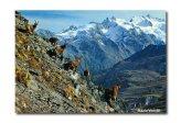 28,1 - Valle D' Aosta - Stambecchi al Parco Nazionale del Gran Paradiso ...