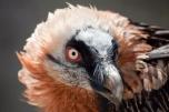 25,1 - Gipeto-del-Parco-Gran-Paradiso-Dopo quasi 100 anni l'arrivo di Siel in Valsavarenche, cuore del Parco Nazionale del Gran Paradiso, ha ridato speranza a questa specie di grandi avvoltoi che rischiava l'estinzione, l
