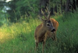 29 - Pesaro. Fauna nel parco. Capriolo