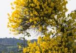 41 - Arbusti del parco. Ginestra