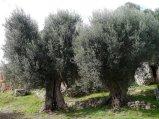 107 -Fasano. La macchia mediterranea, olivi.