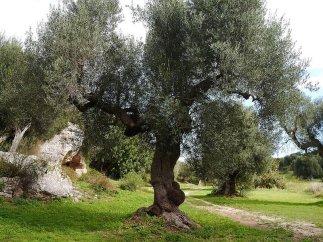 108 -Fasano. La macchia mediterranea, olivi.
