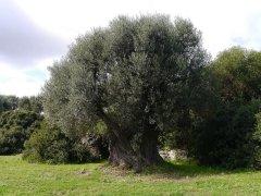109 -Fasano. La macchia mediterranea, olivi.