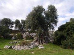 110 -Fasano. La macchia mediterranea, olivi.