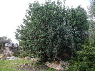 111 -Fasano. La macchia mediterranea, carrubi.