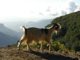 51 -Parco Nazionale dell'Aspromonte, capre
